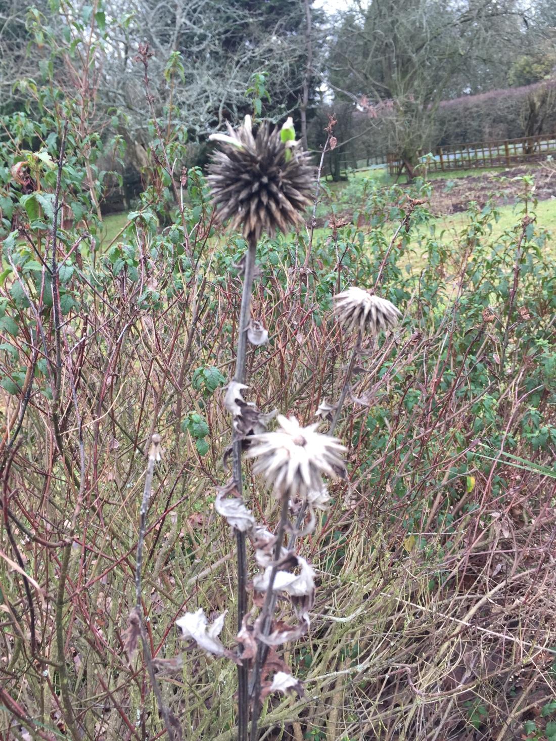 eryngium seed head